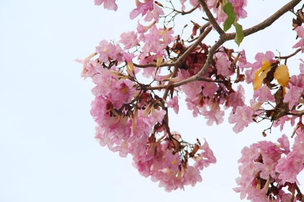 Penang Sakura Blossom